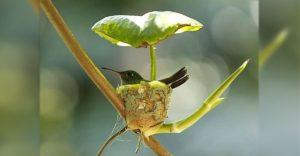 Colibrí embarazada construye su nido con un techo para cuidar a sus polluelos