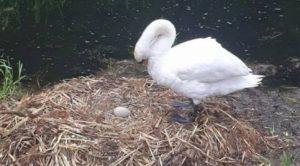 Cisne muere de tristeza después de que unos tontos adolescentes destrozaran su nido