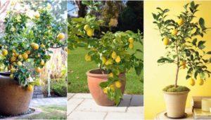 Cómo tener tu propio limonero: el paso a paso